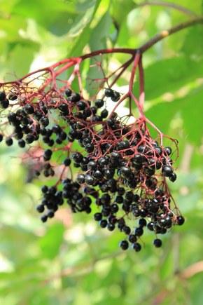 Elderberry Compote With Greek Yogurt Grown To Cook