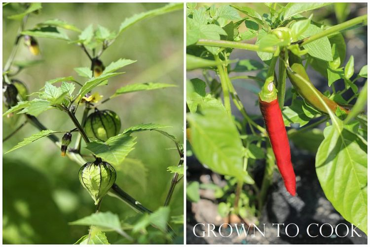 tomatillos and hot red peppers