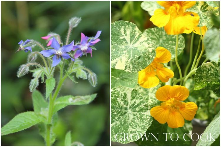 Borage and nasturtiums