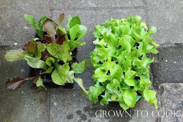 lettuce transplants