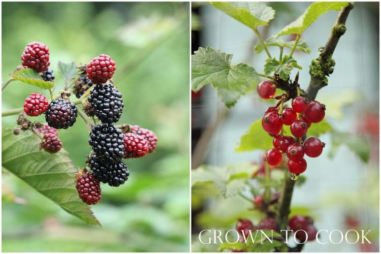 blackberries and red currants