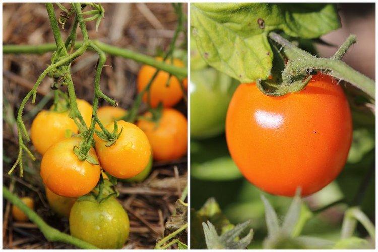 Tomato Ida Gold and Gruschovka
