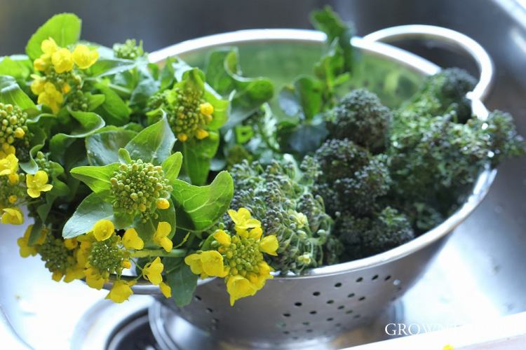 chinese cabbage flowering shoots and broccoli