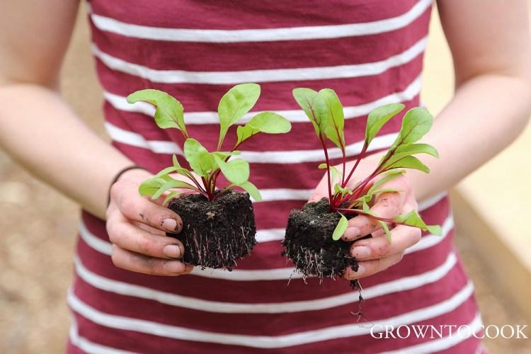 red beets in soil blocks