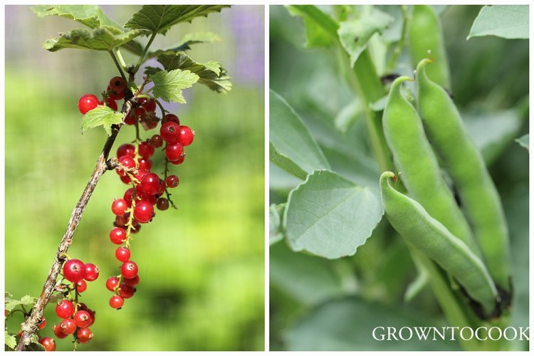 red currants and broad beans