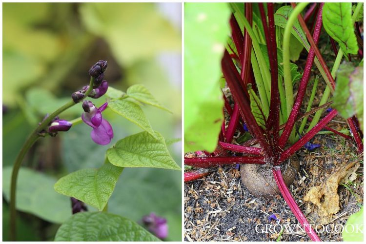 bean flowers and red beet