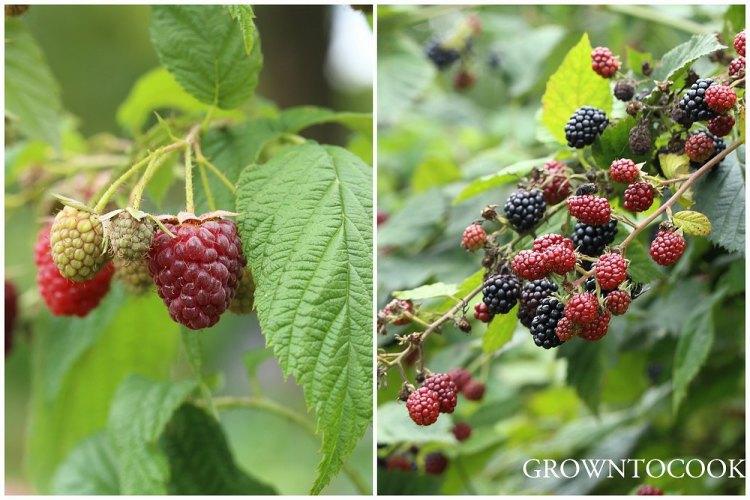 "raspberry ""Autumn Bliss"" and blackberries"
