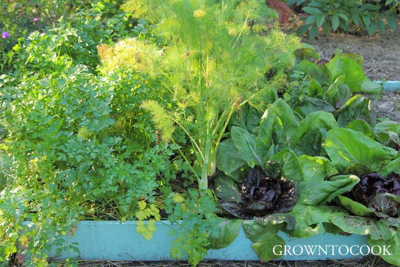 parsley, fennel and chicory