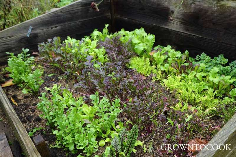 mustard leaves in cold frame