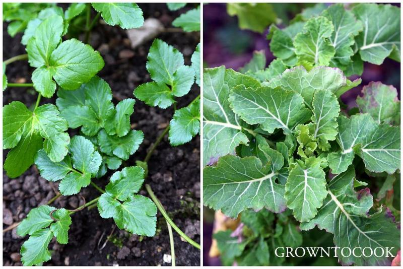 perennial kale and alexanders