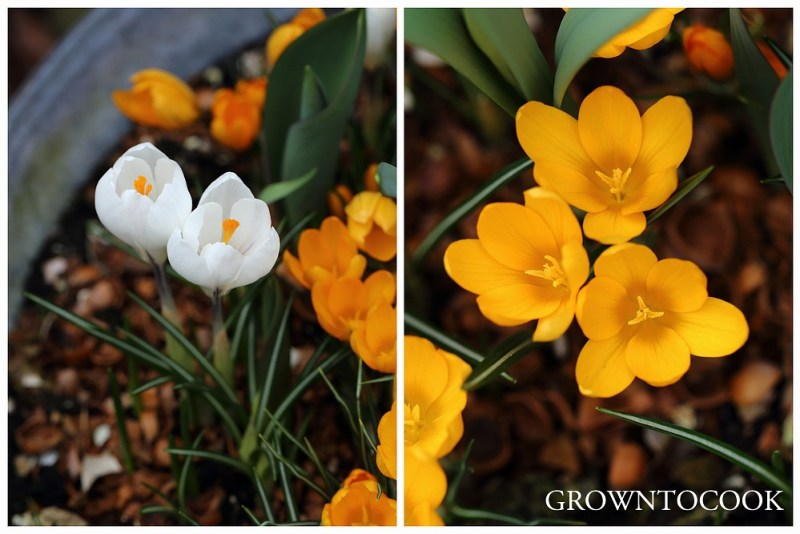 crocus Yellow mammoth and Jeanne d'arc