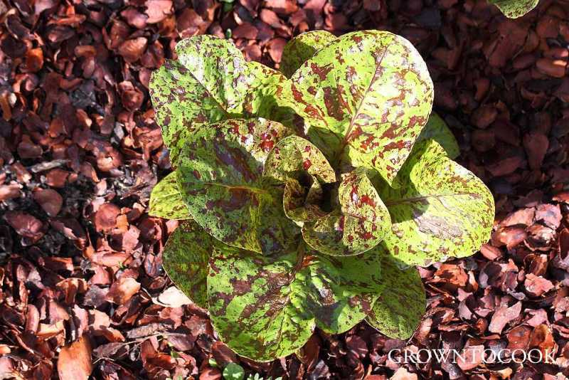 lettuce mulched with cocoa shells