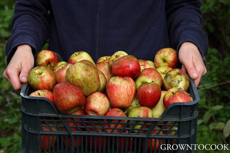 apple harvest groninger kroon