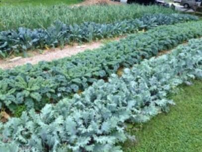 Shiloh kale and garlic June 2014 (1)
