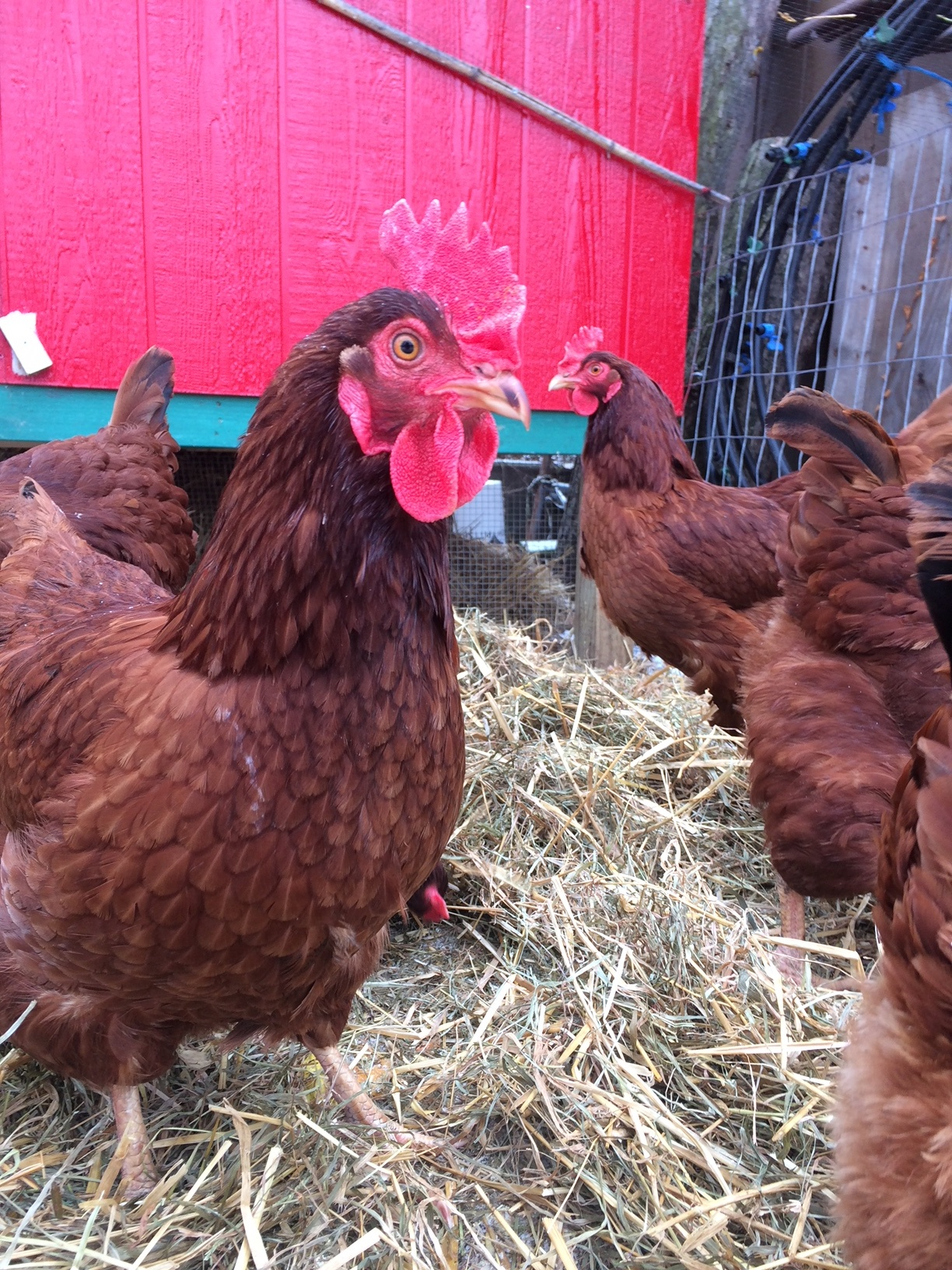 Backyard Farm School: Urban Chicken Keeping