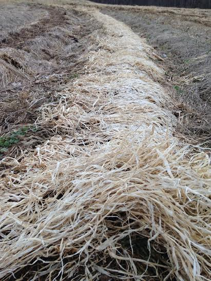 This mat of dead cover crop is a mix of oats, peas, and forage radish.