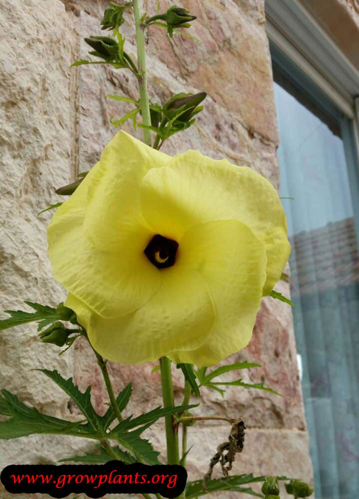 Abelmoschus Manihot How To Grow Care