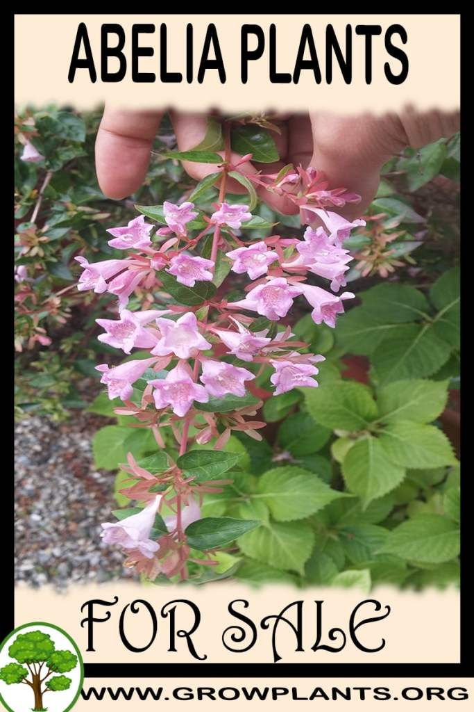 Abelia For Sale Grow Plants