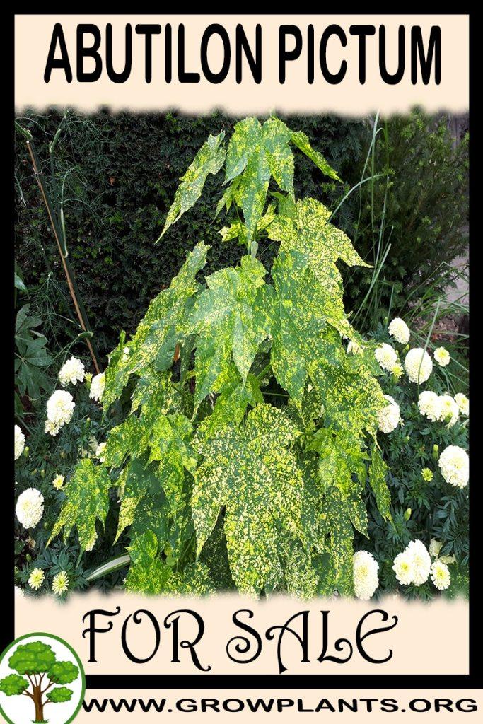 Abutilon Pictum For Sale Grow Plants
