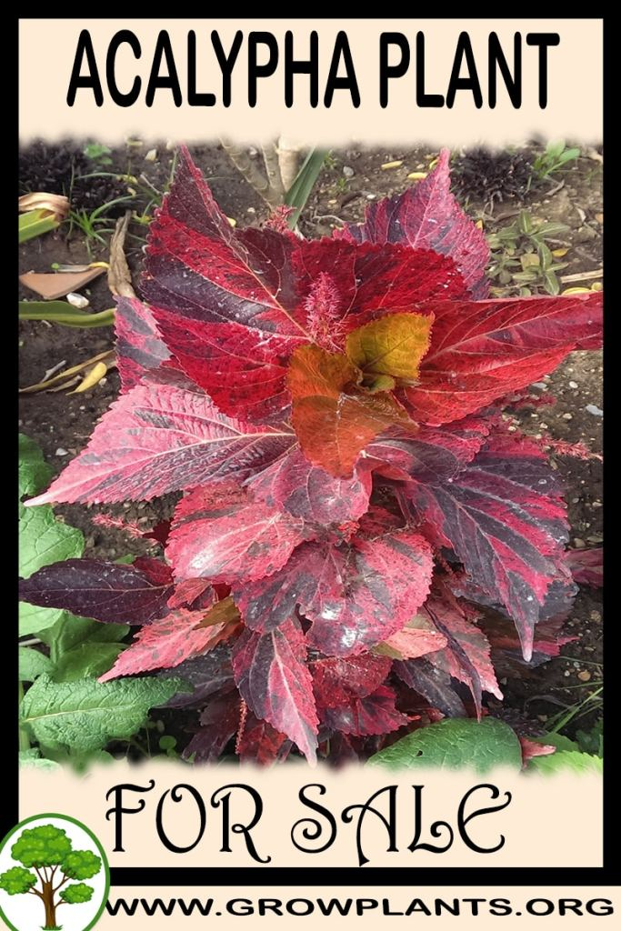 Acalypha for sale
