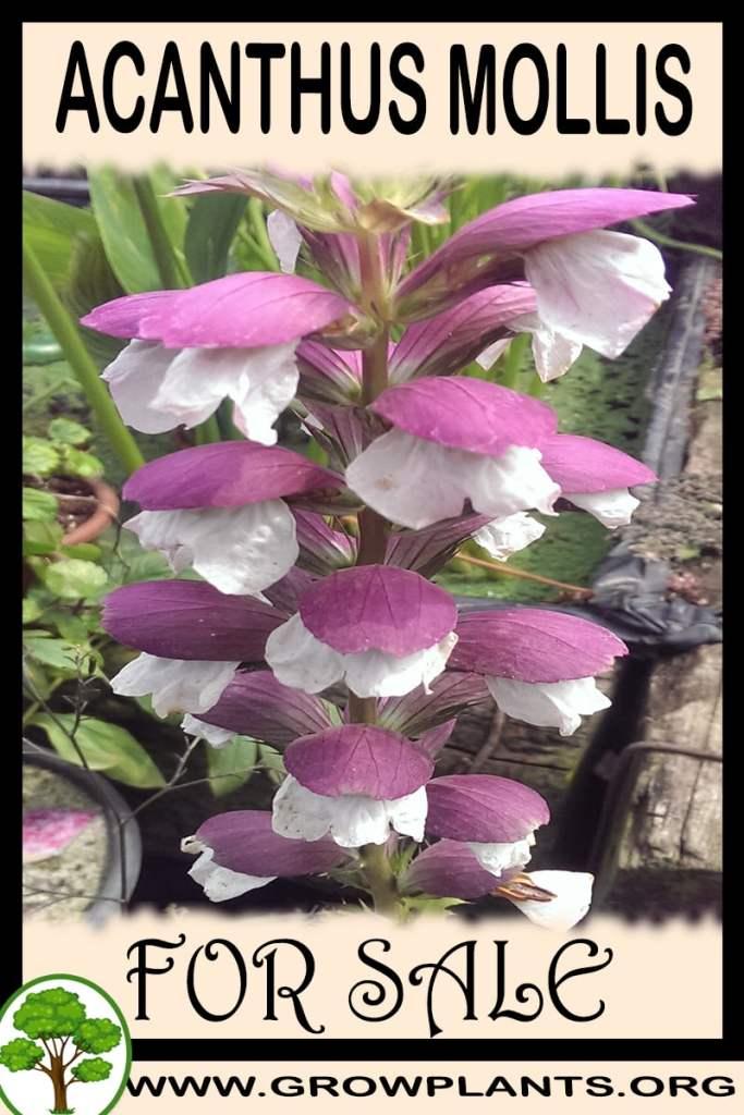 Acanthus mollis for sale