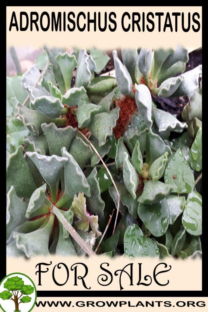 Adromischus cristatus for sale