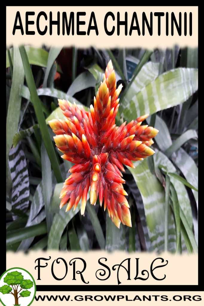 Aechmea chantinii for sale