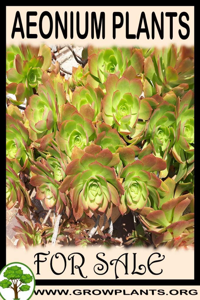 Aeonium plants for sale