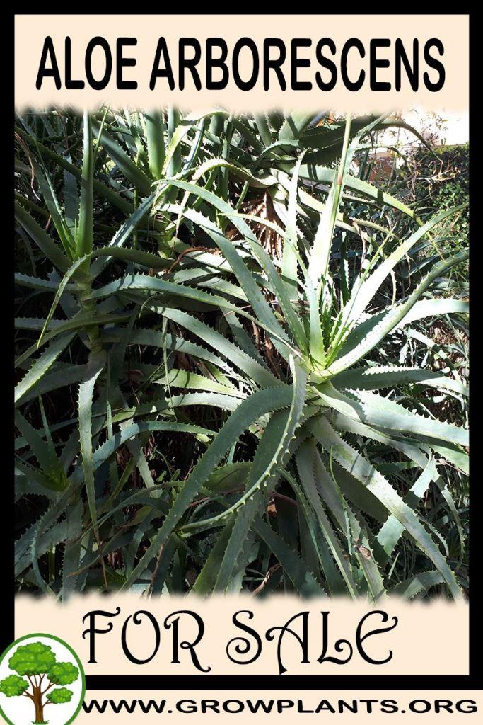 Aloe arborescens for sale