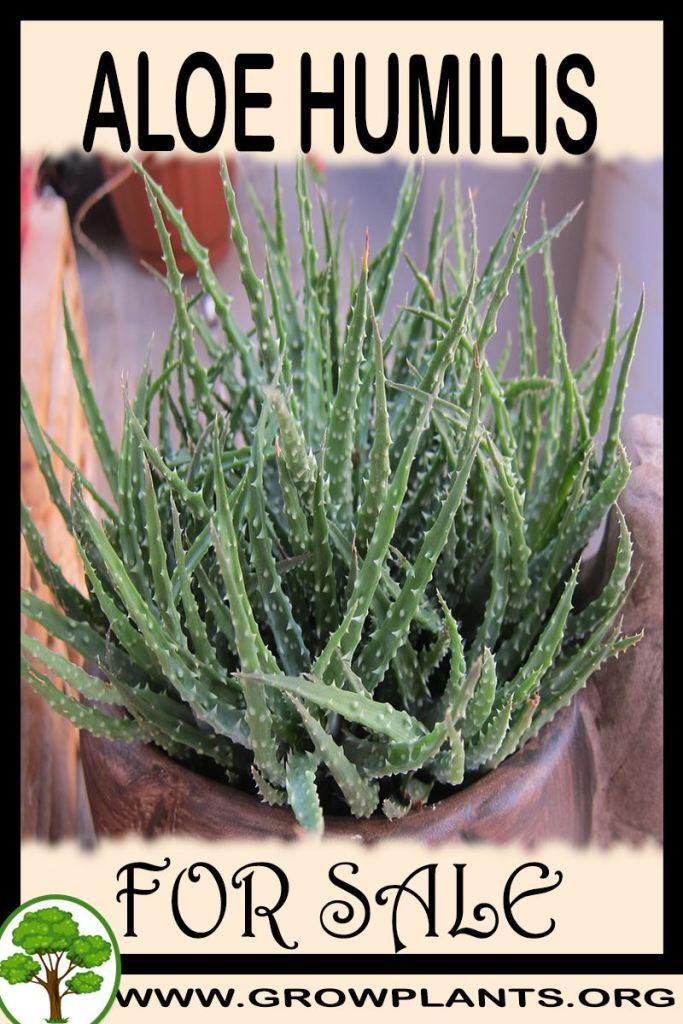 Aloe humilis for sale