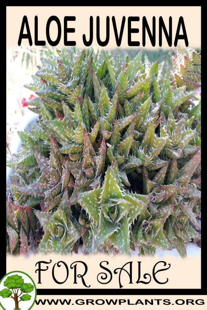 Aloe juvenna for sale