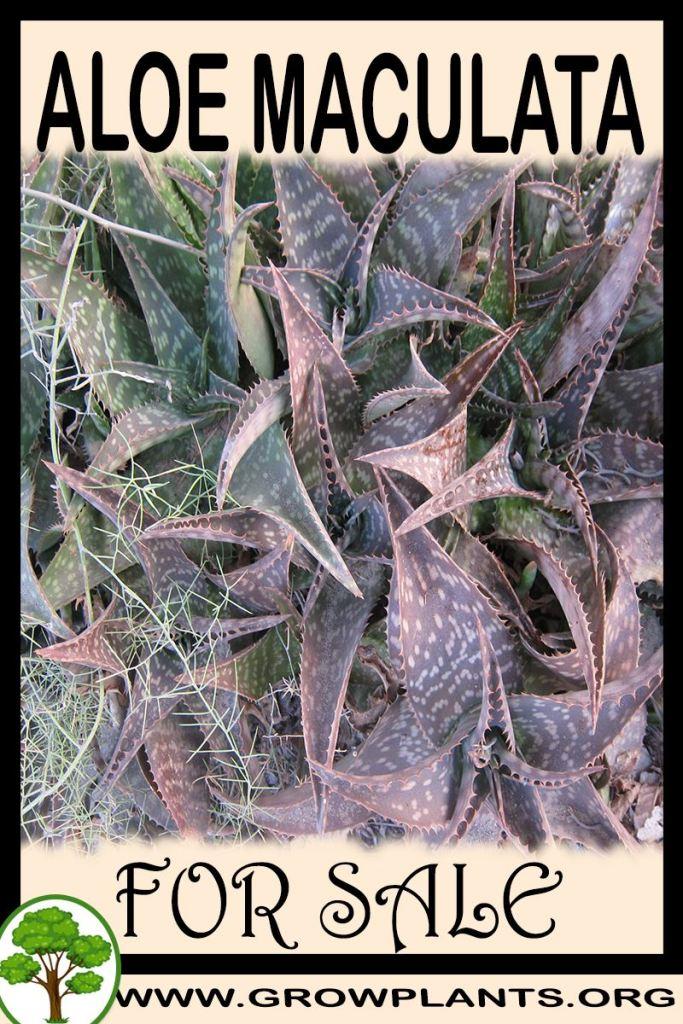 Aloe maculata for sale