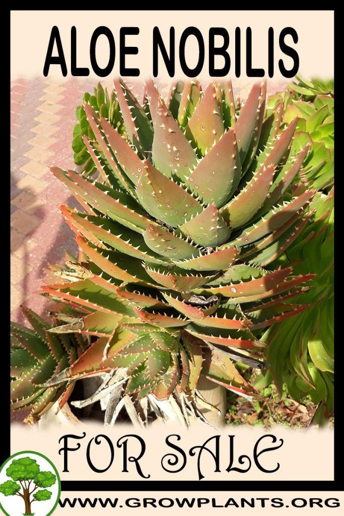 Aloe nobilis for sale