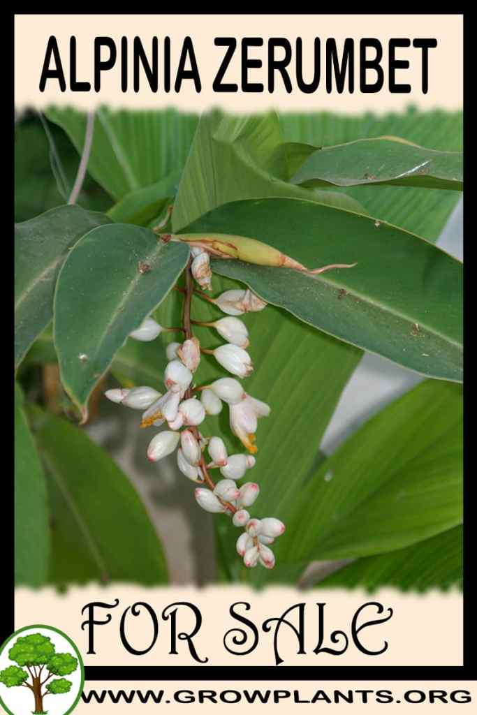 Alpinia zerumbet for sale