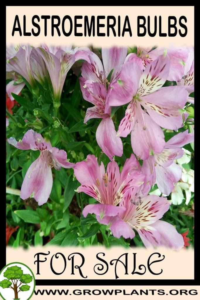 Alstroemeria bulbs for sale
