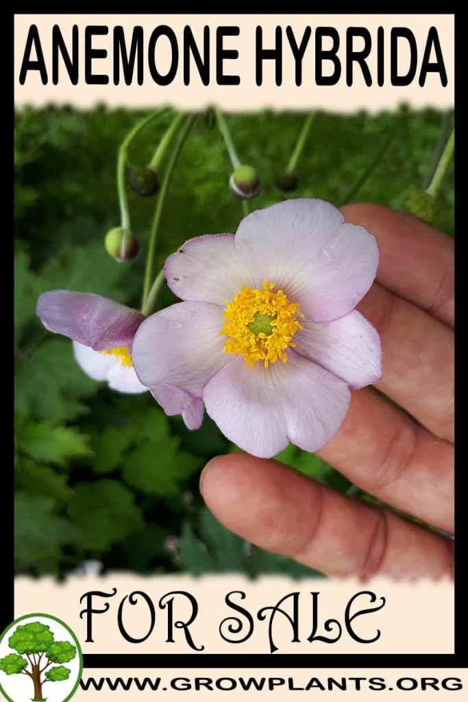 Anemone hybrida for sale