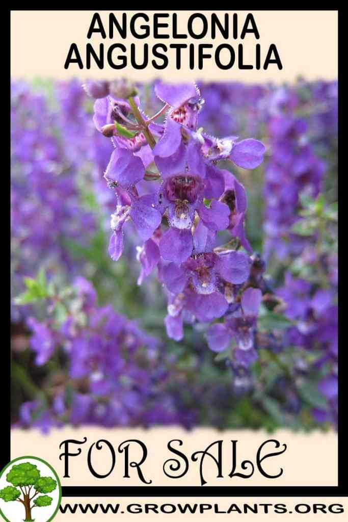 Angelonia angustifolia for sale