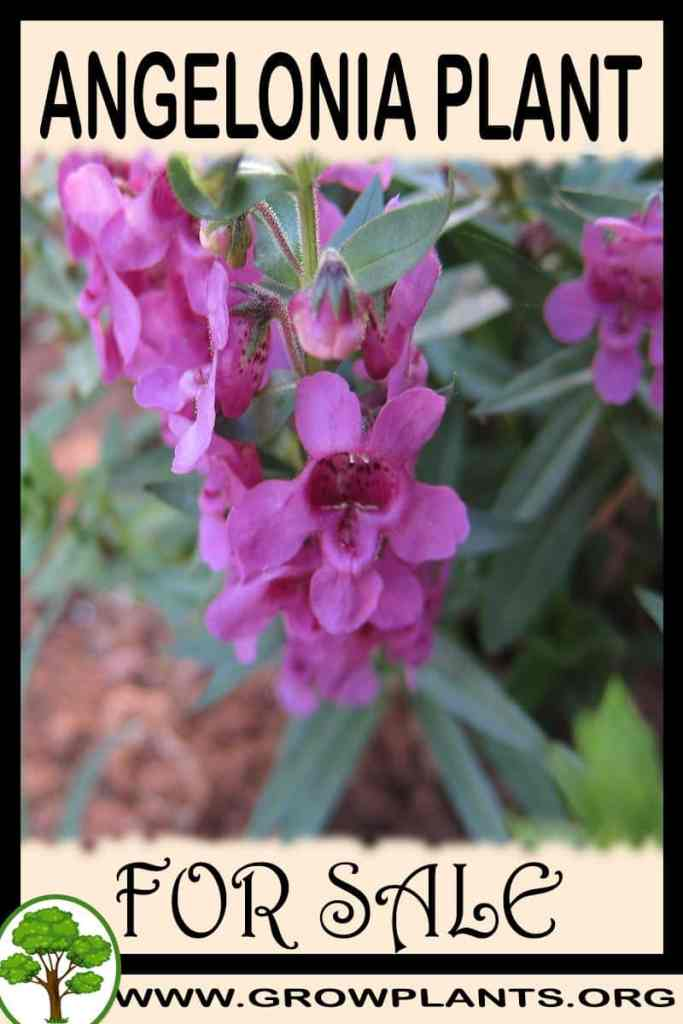 Angelonia for sale