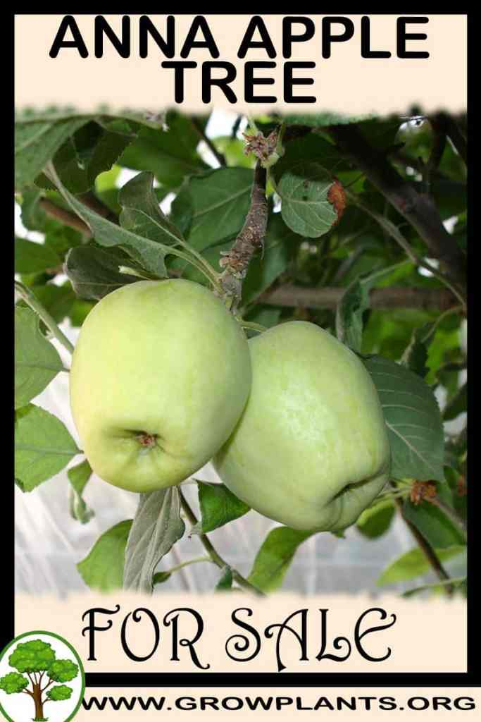 Anna apple tree for sale