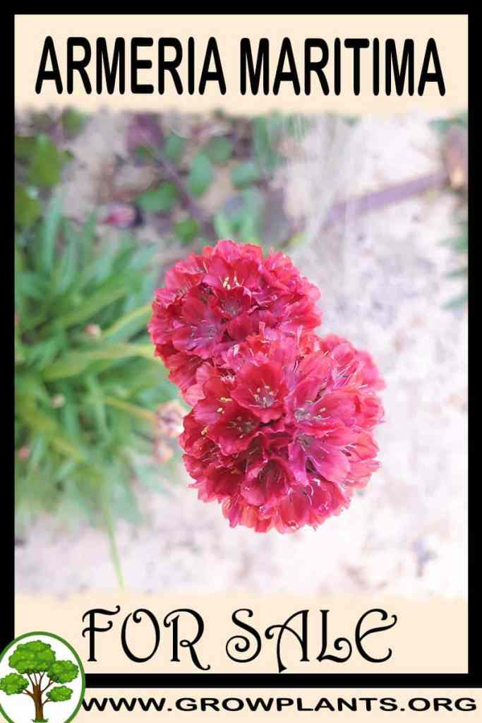 Armeria maritima for sale