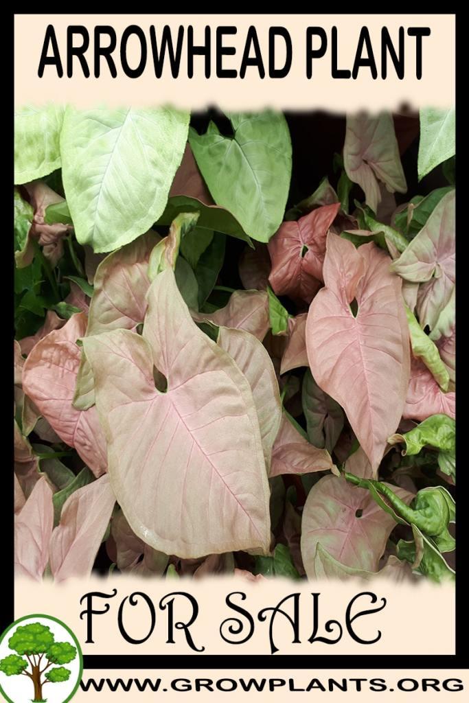 Arrowhead plant for sale