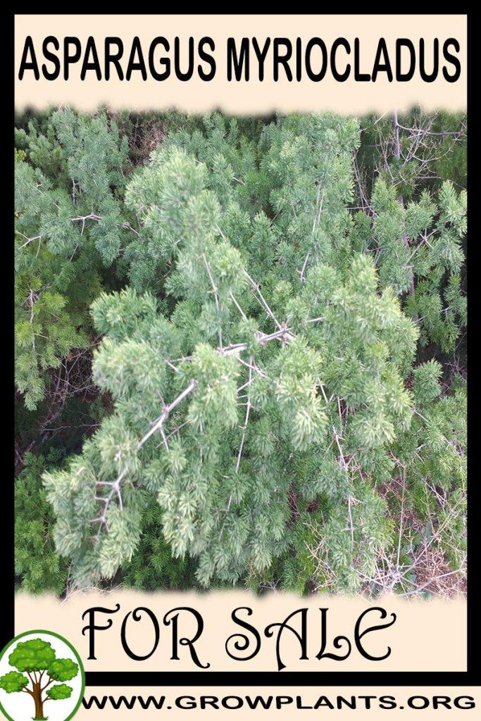 Asparagus myriocladus for sale