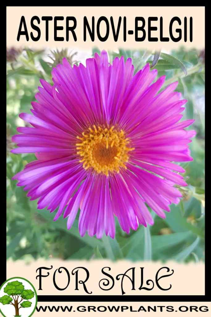 Aster novi-belgii for sale