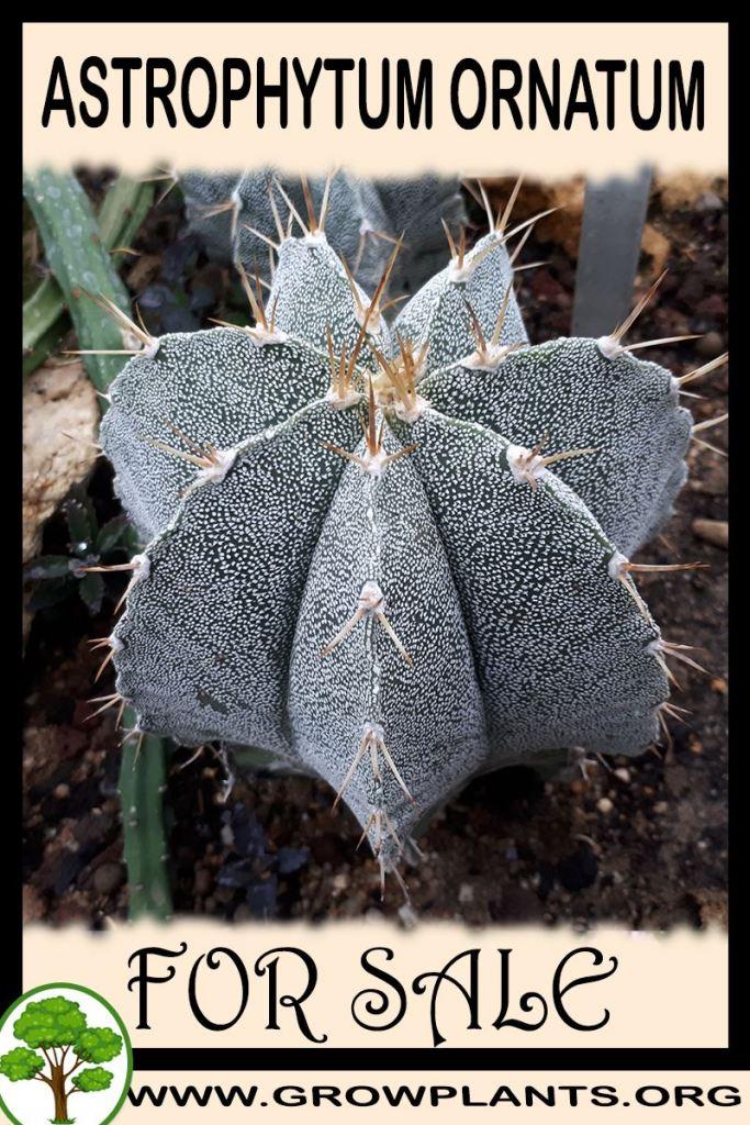 Astrophytum ornatum for sale