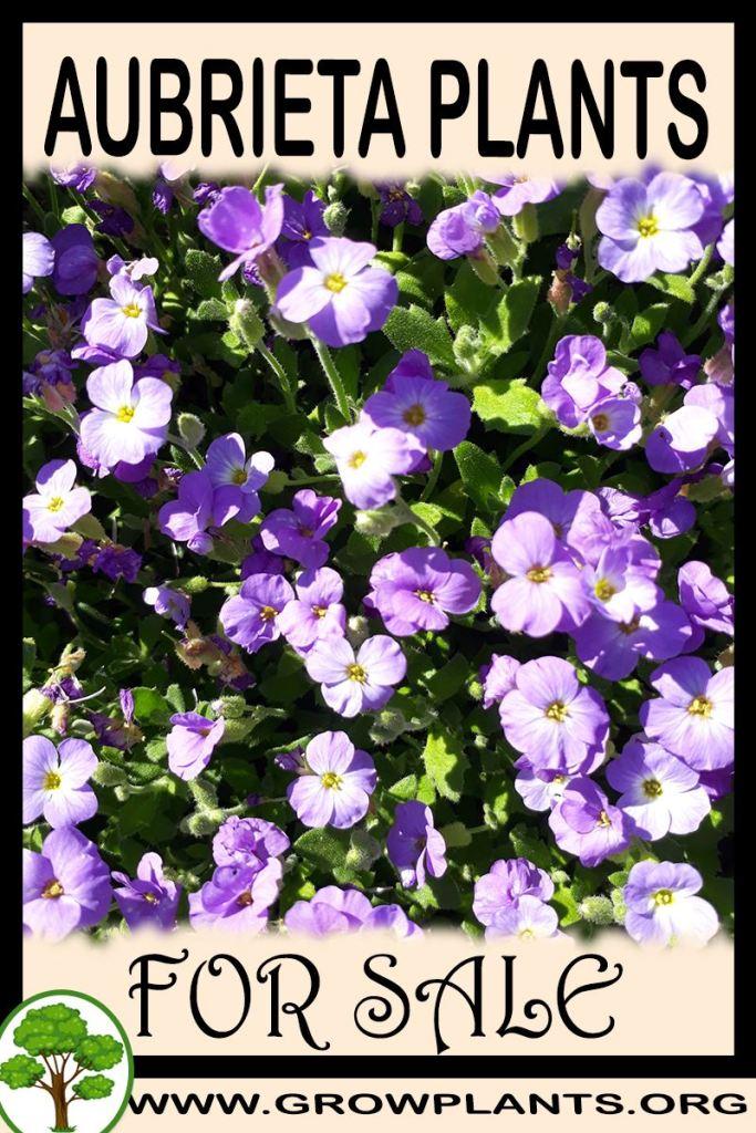 Aubrieta plants for sale