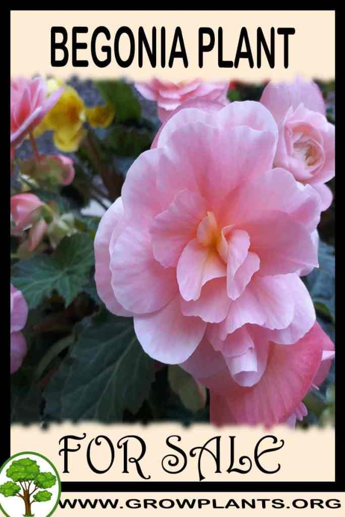 Begonia for sale