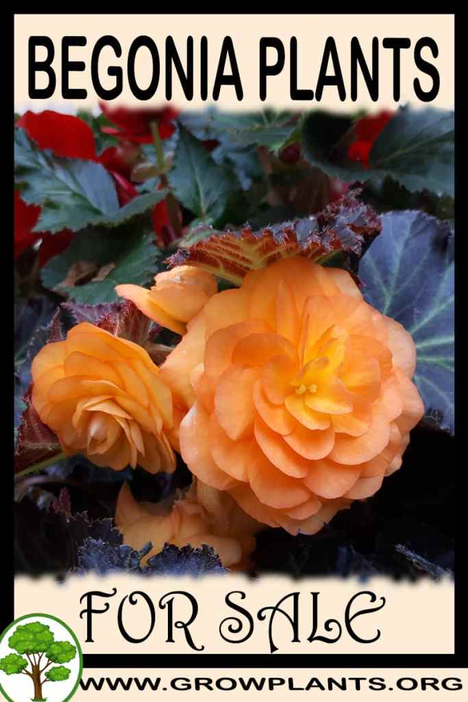 Begonia plants for sale