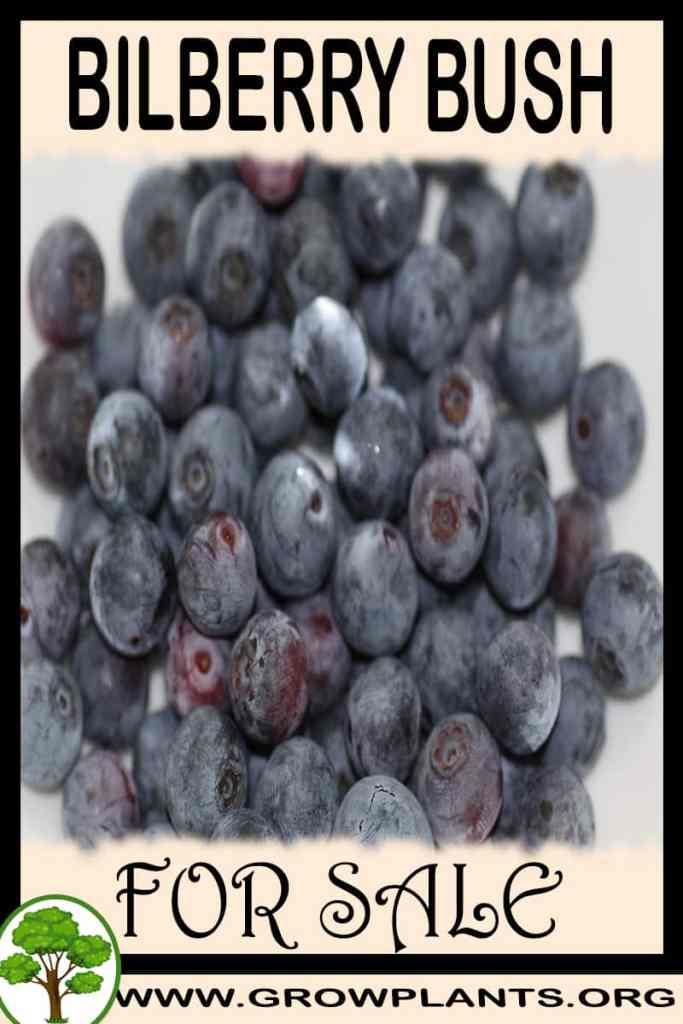 Bilberry bush for sale