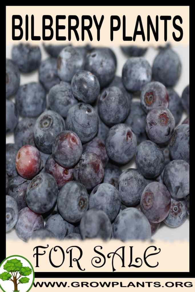 Bilberry plants for sale