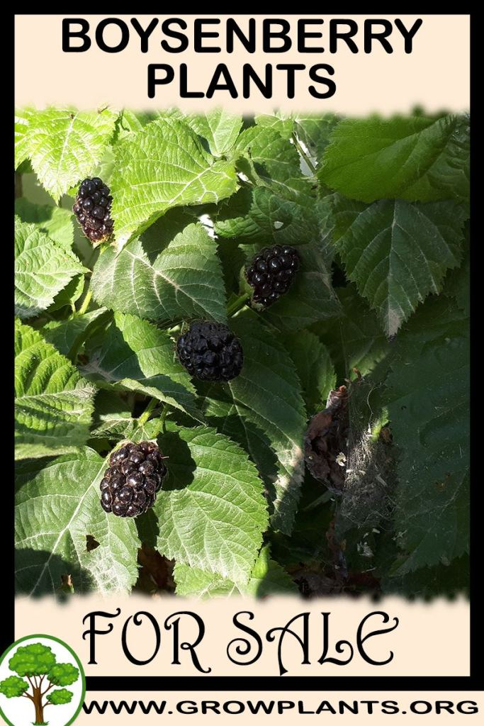 Boysenberry plants for sale